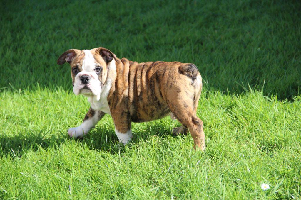 des Dunes de Mondopale - Chiot disponible  - Bulldog Anglais