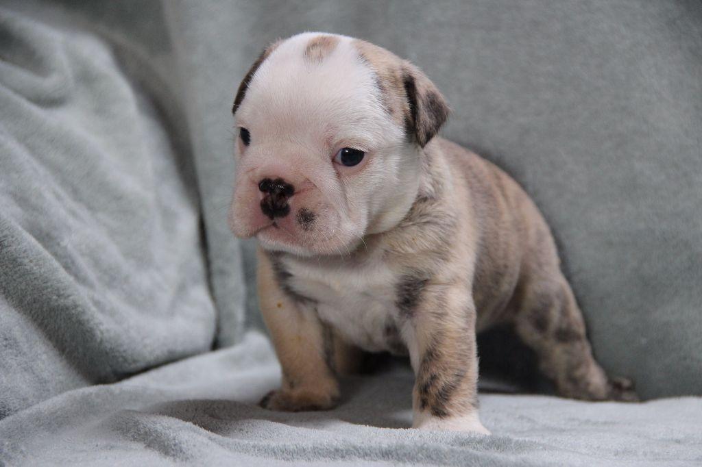 Newton - Bulldog Anglais
