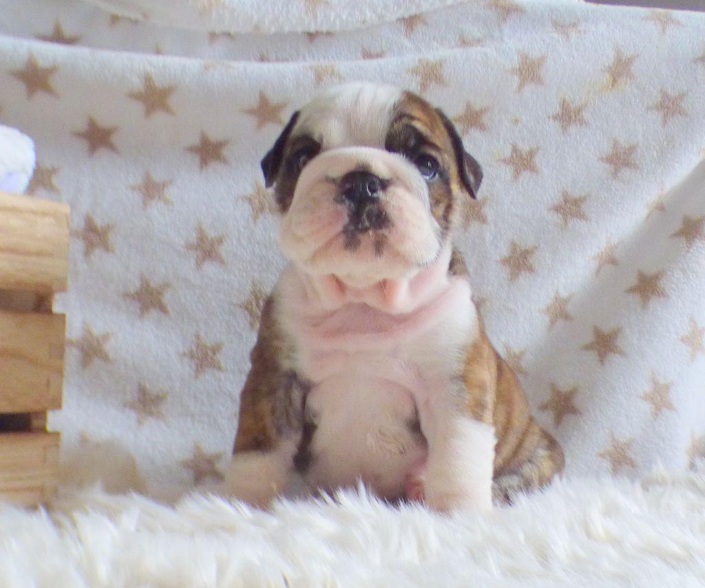 Bull's of Normandy - Chiot disponible  - Bulldog Anglais