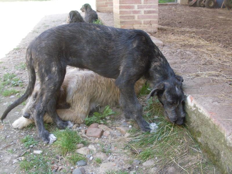 Chiot - Elevage d'Ardalie - eleveur de chiens Lévrier