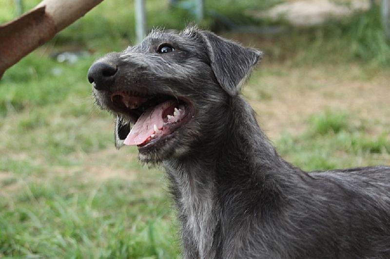 Chiot - Elevage d'Ardalie - eleveur de chiens Lévrier écossais