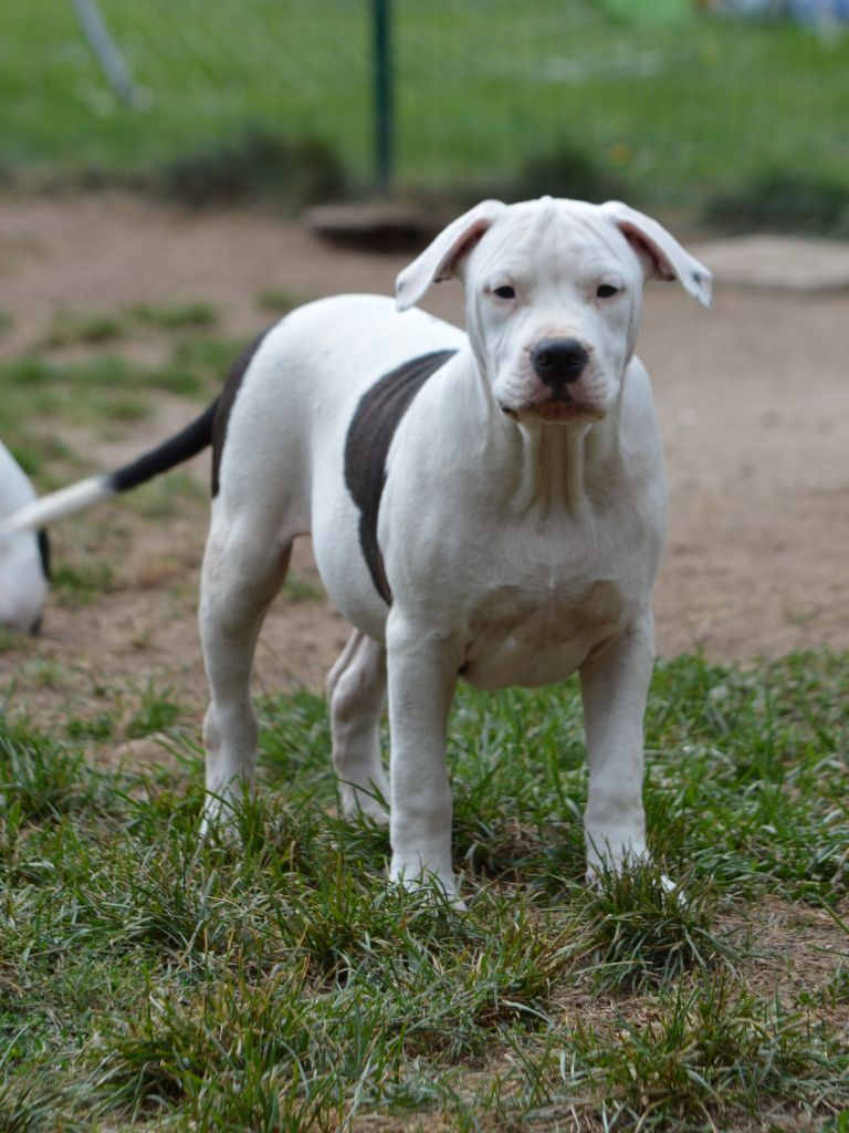 PATCH - American Staffordshire Terrier