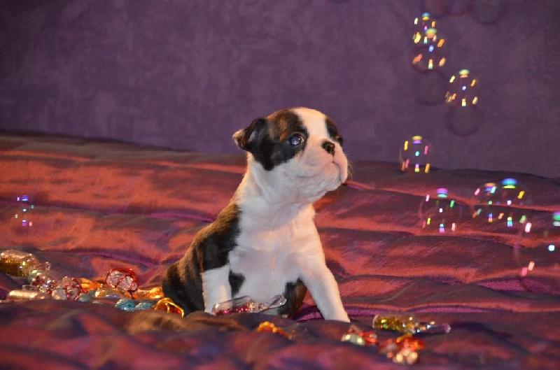 CH. Junon Sweeties Doggies