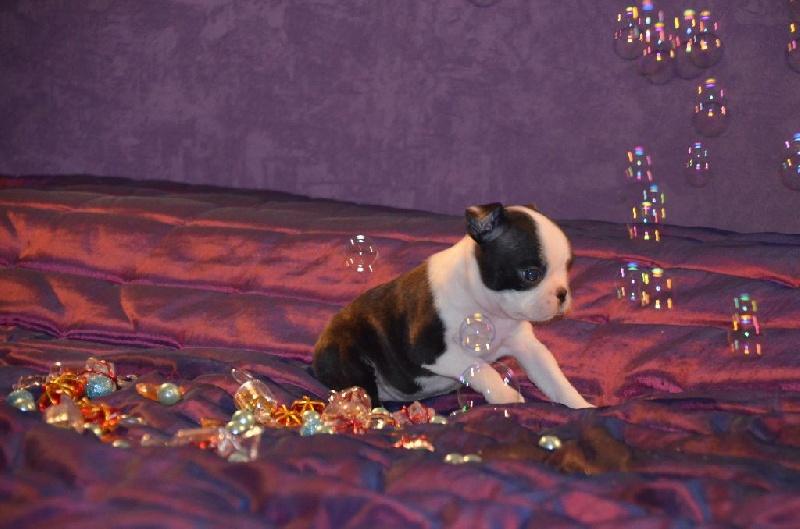 CH. Joyeuse Sweeties Doggies