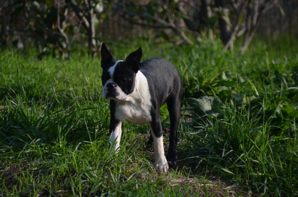 Sweeties Doggies - Chiot disponible  - Boston Terrier