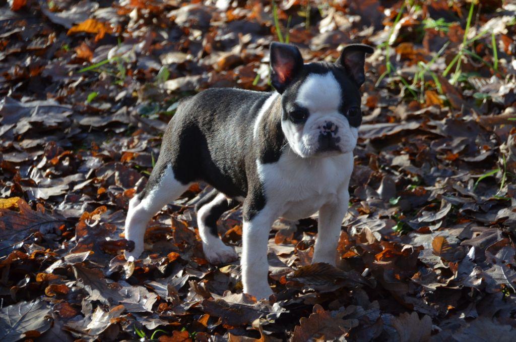 Sweeties Doggies - Boston Terrier - Portée née le 12/09/2019