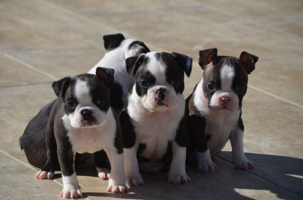 Sweeties Doggies - Boston Terrier - Portée née le 16/01/2019