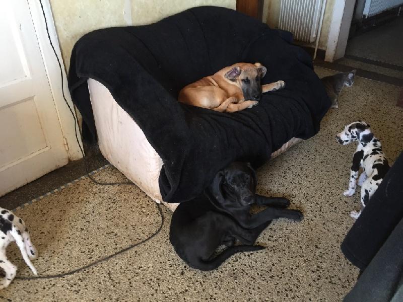 de la douce folie - Chiot disponible  - Dogue allemand