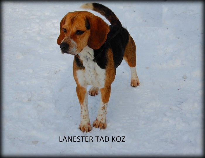 Lanester Tad koz Beagle