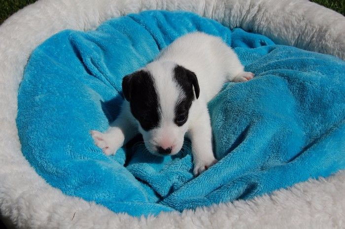 Didier Damas - Chiot disponible  - Jack Russell Terrier
