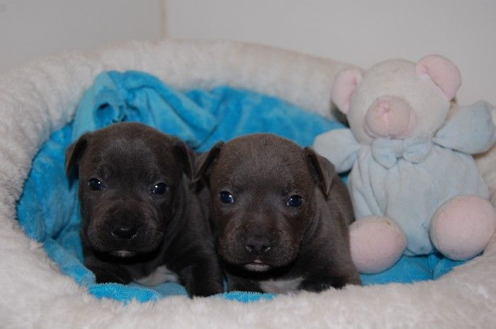 Didier Damas - Chiot disponible  - Staffordshire Bull Terrier
