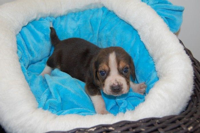 Didier Damas - Chiot disponible  - Beagle