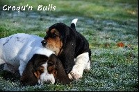 Basset Hound - des Croqu'n Bulls