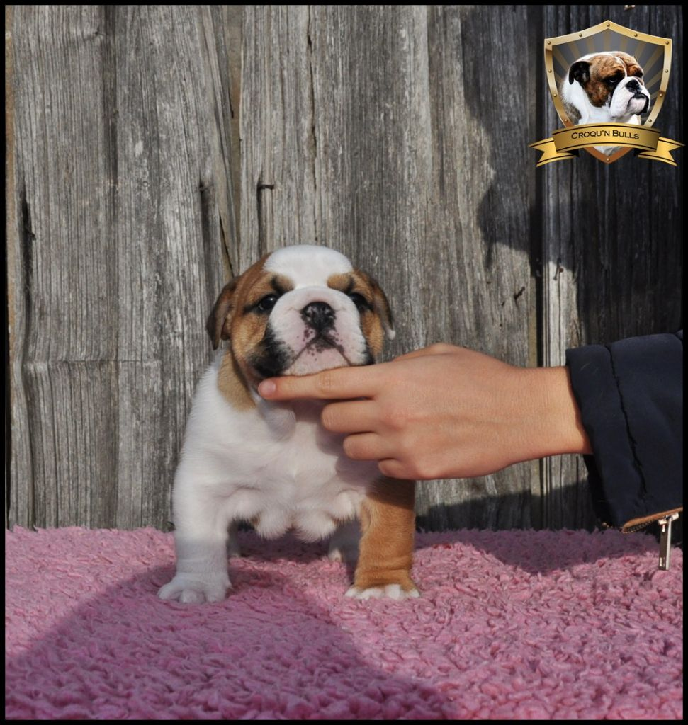 des Croqu'n Bulls - Chiot disponible  - Bulldog Anglais