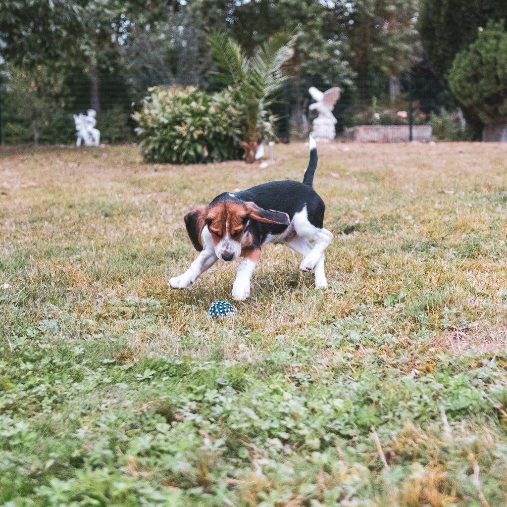 Des marais de courmont - Chiot disponible  - Beagle