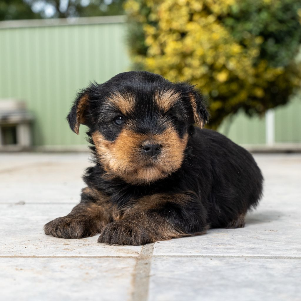 Des marais de courmont - Chiot disponible  - Yorkshire Terrier