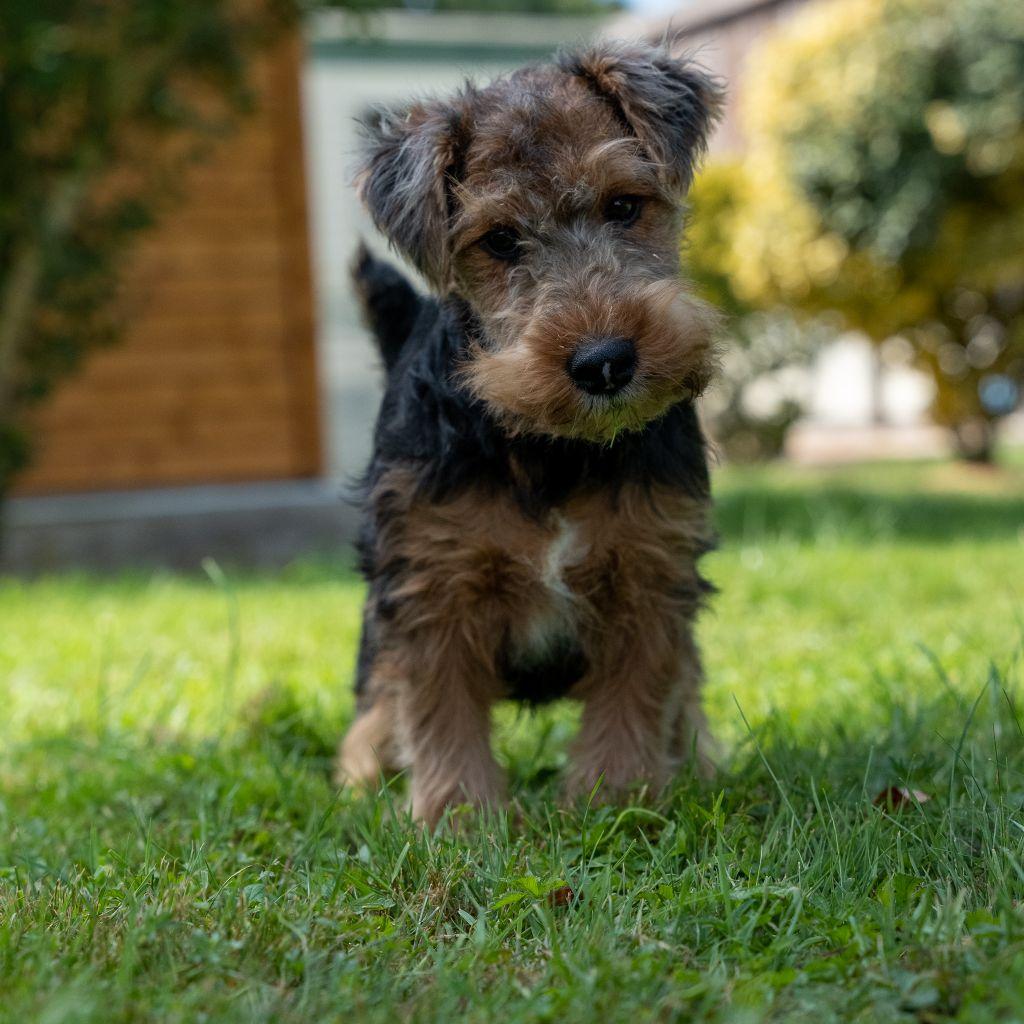 Des marais de courmont - Chiot disponible  - Welsh Terrier