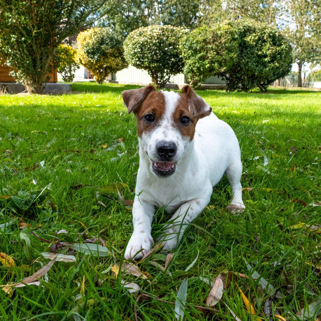 Des marais de courmont - Chiot disponible  - Jack Russell Terrier