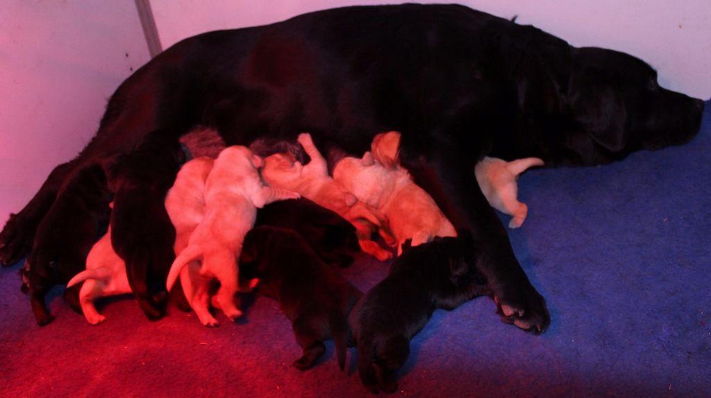 Du bois des loutres - Chiot disponible  - Labrador Retriever