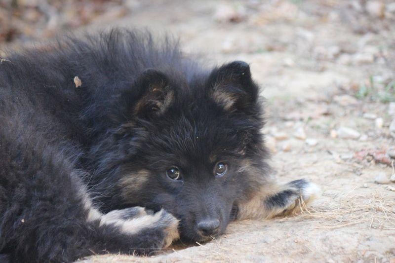 chiot chien finnois de laponie leena femelle disponible en occitanie 81 tarn toutes les. Black Bedroom Furniture Sets. Home Design Ideas