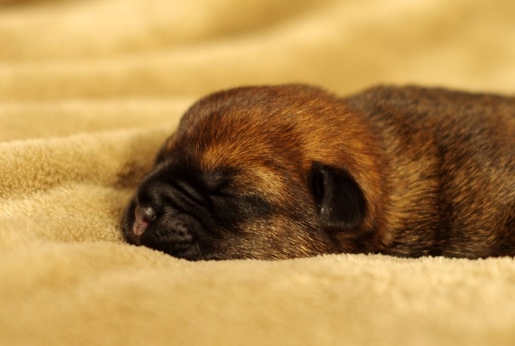 Aiga Viva - Chiot disponible  - Border Terrier