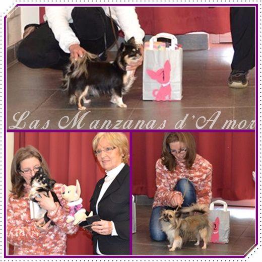 Las Manzanas D'amor - Belgian Chihuahua Club