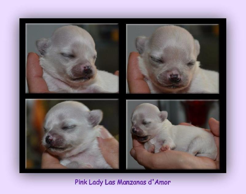 Las Manzanas D'amor - Chiot disponible  - Chihuahua