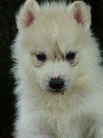 Siberian Husky - de la Vallee de L'Or Bleu