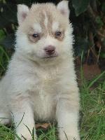 de la Vallee de L'Or Bleu - Chiot disponible  - Siberian Husky