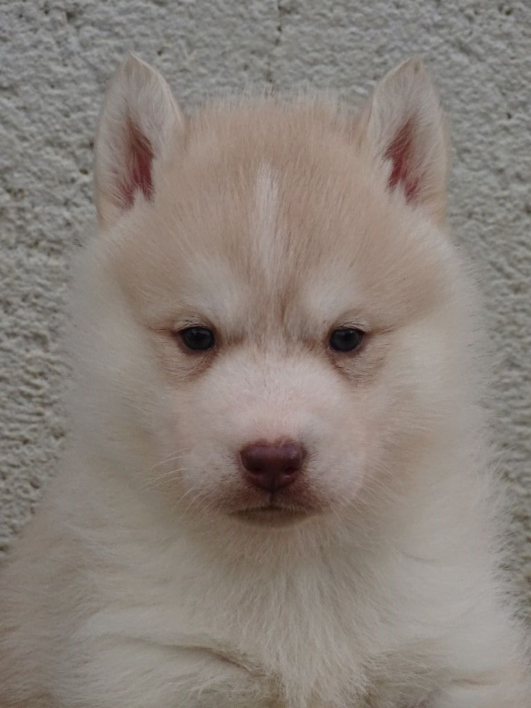 de la Vallee de L'Or Bleu - Chiot disponible  - Siberian Husky