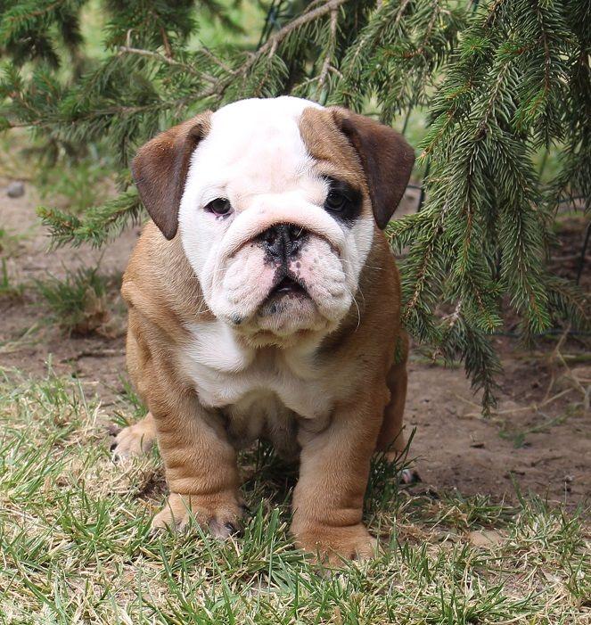 Moufh - Chiot disponible  - Bulldog Anglais