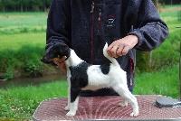 Belfox - Fox Terrier Poil lisse - Portée née le 04/02/2016