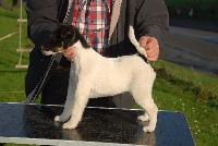 Belfox - Chiot disponible  - Fox Terrier Poil lisse