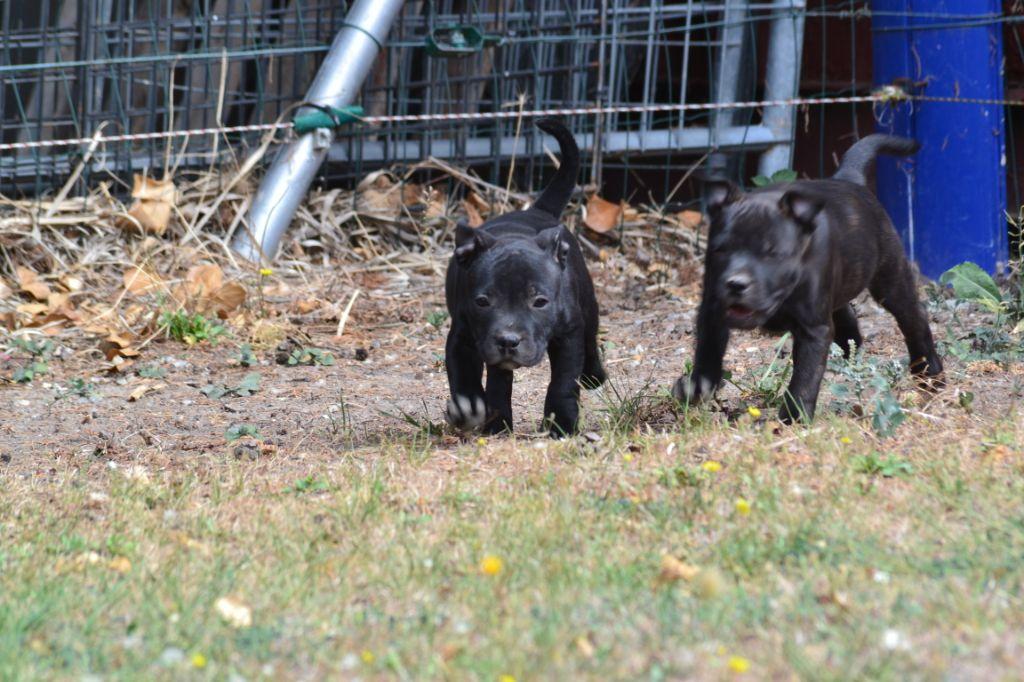 OSLO - Staffordshire Bull Terrier
