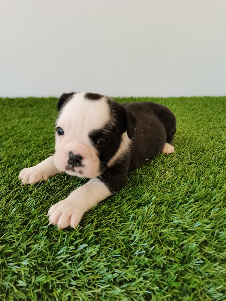 du domaine de Couroules - Chiot disponible  - Bulldog continental