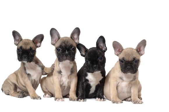 accueil elevage du domaine de couroules eleveur de chiens bouledogue fran ais. Black Bedroom Furniture Sets. Home Design Ideas