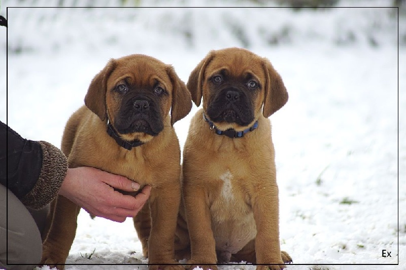 chiots de la race dogue de bordeaux disponibles sur chiots de france. Black Bedroom Furniture Sets. Home Design Ideas