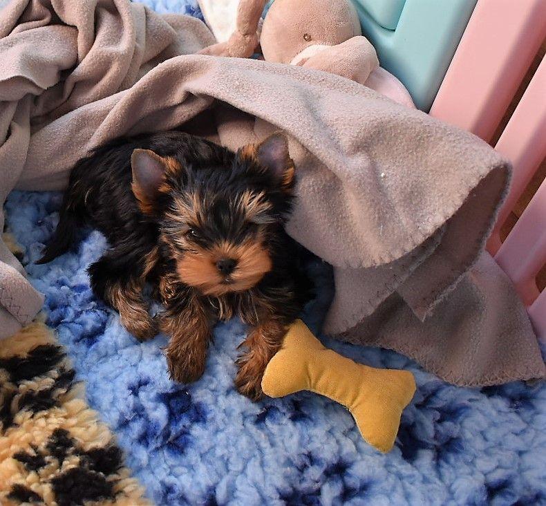 des Contes De Madjerly - Chiot disponible  - Yorkshire Terrier