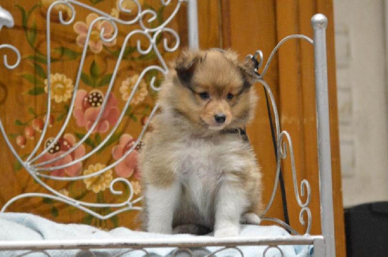 des Romarins de Mayerling - Shetland Sheepdog - Portée née le 25/10/2016