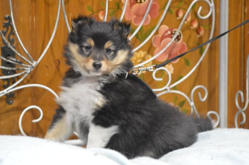 des Romarins de Mayerling - Chiot disponible  - Shetland Sheepdog