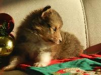 des Romarins de Mayerling - Chiot disponible  - Shetland Sheepdog