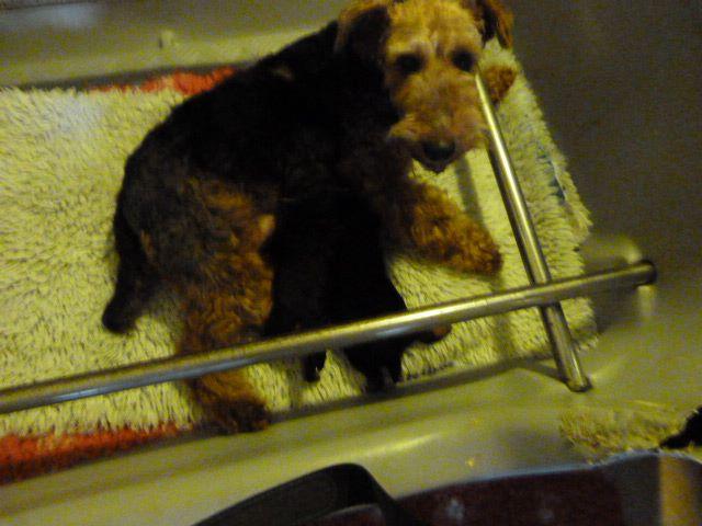 Du hameau du laxon - Chiot disponible  - Welsh Terrier