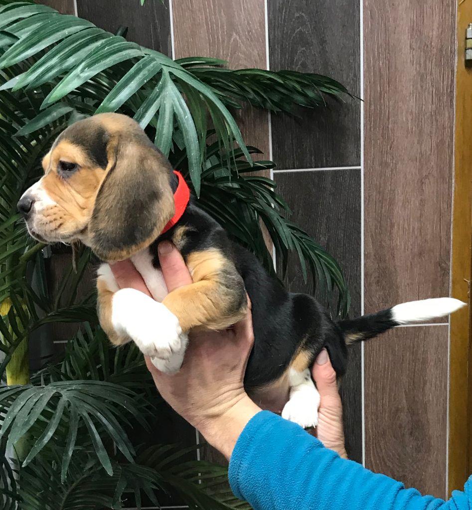 De l'aigle de meaux - Chiot disponible  - Beagle