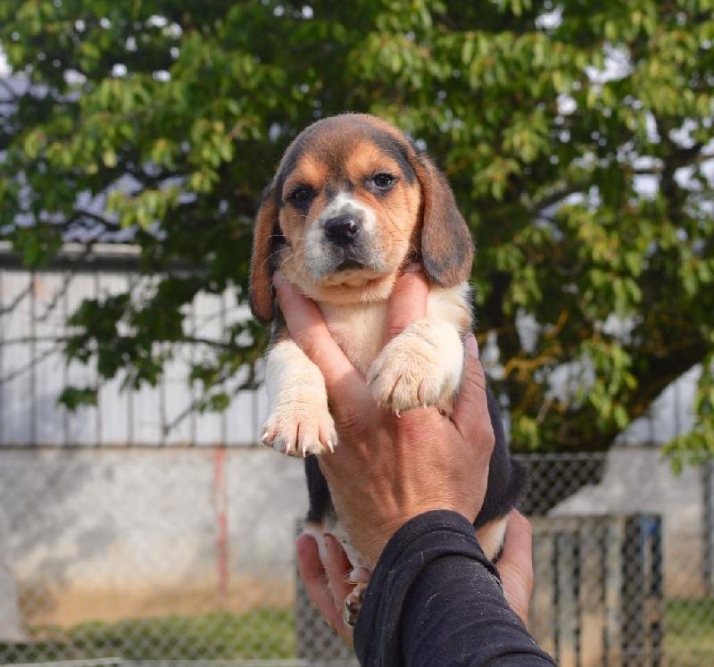 chiot beagle m le disponible en bourgogne 21 cote d 39 or toutes les portees les chiots de. Black Bedroom Furniture Sets. Home Design Ideas