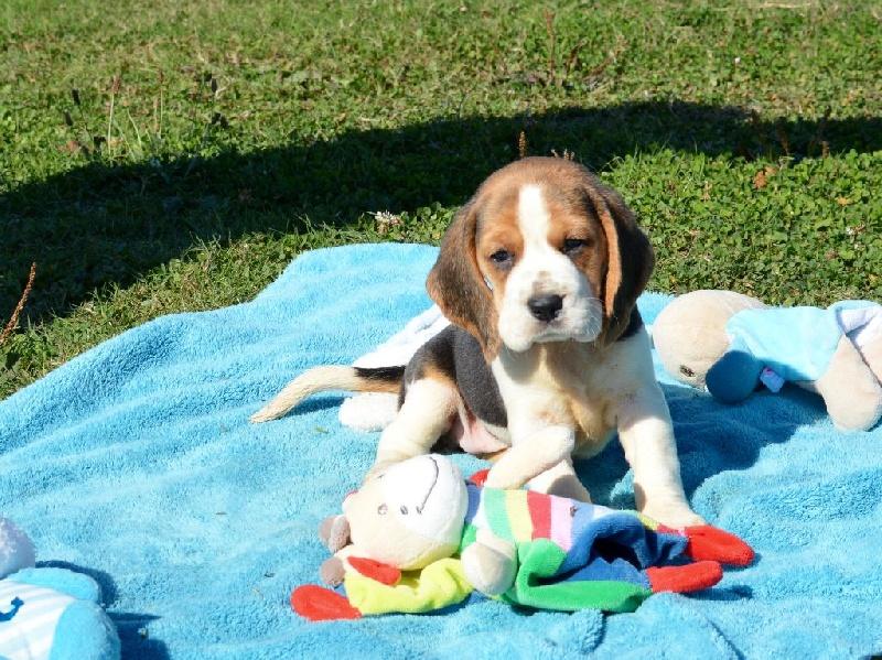 chiot beagle femelle 1 femelle disponible en bourgogne franche comte 21 cote d 39 or toutes. Black Bedroom Furniture Sets. Home Design Ideas
