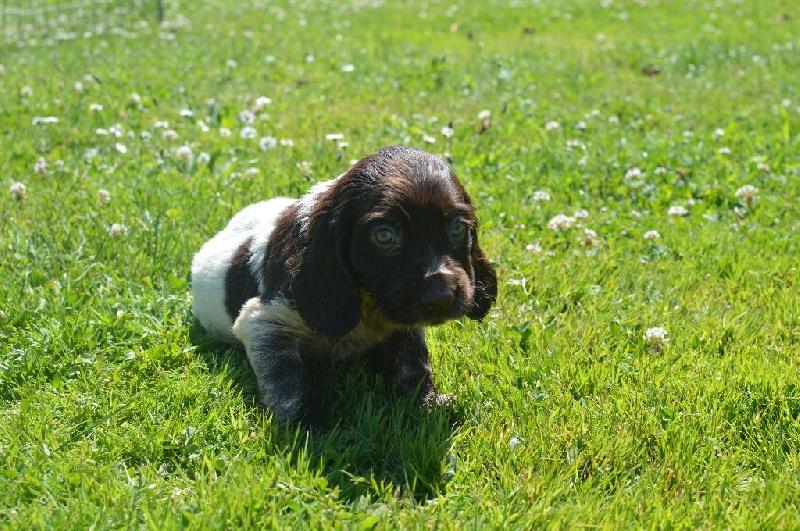 chiot chien d oysel allemand femelle disponible en bourgogne 21 cote d 39 or toutes les. Black Bedroom Furniture Sets. Home Design Ideas
