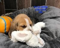 De l'aigle de meaux - Beagle - Portée née le 04/07/2018