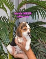 De l'aigle de meaux - Beagle - Portée née le 11/06/2018