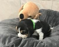 De l'aigle de meaux - Beagle - Portée née le 10/02/2020