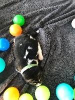 Beagle - De l'aigle de meaux